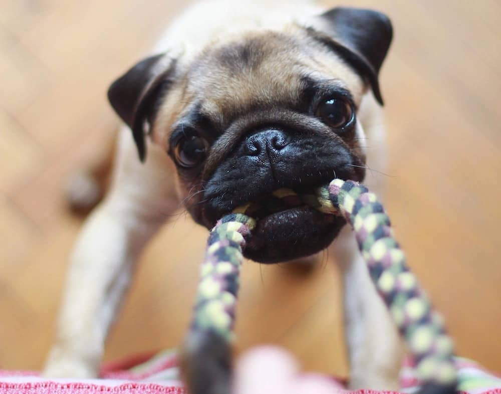 Pug puppy playing tug of war with one of the best chew toys