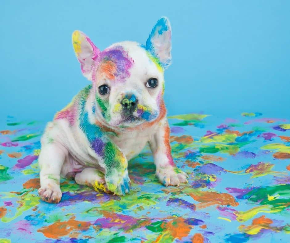 French bulldog puppy covered in paint and needing to be shampooed