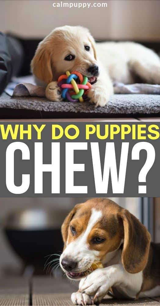 why do puppies chew? pinterest pin